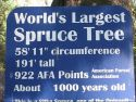 Largest Spruce tree Sign